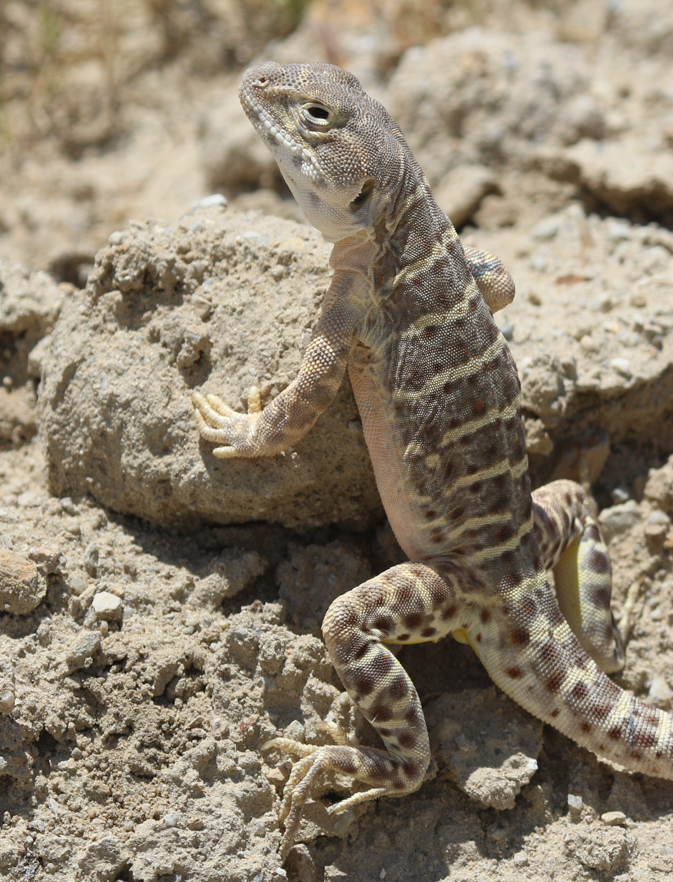 Detection Dogs on the Trail of Endangered Lizards