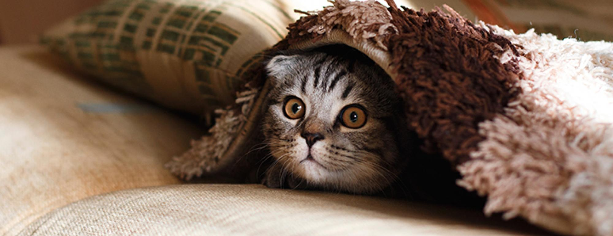 Cute Kitten Peering out from under a Blanket